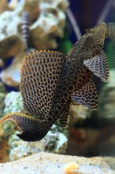 Tropical Freshwater Fish, Freshwater Aquarium Fish, Tropical Fish, Saltwater Tank, Saltwater Aquarium, Guppy, Largest Catfish, Pleco Fish, Oscar Fish
