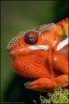 Chameleon.....