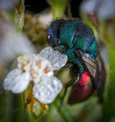 Blue and Red Cuckoo Wasp in Closeup Photo  Free Stock Photo