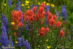 The wildflowers are amazing this  year in Steamboat Springs, Coloardo