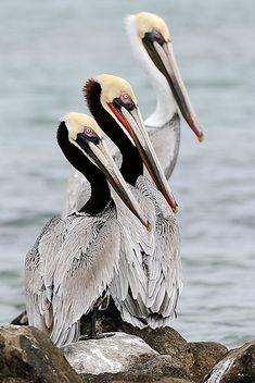 Pelicanos ...