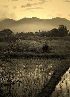 Rice paddies in Chiang Rai, Thailand