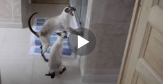 It's hard to believe their two siamese cats do this when she takes a shower, but the crazy part is that it happens EVERY time! - When she tries to take a shower, it's probably the most annoying thing in the world, OMG!  These two siamese cats cannot stand it when she takes a shower and get very vo