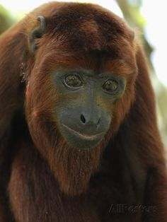 Red Howler Monkey Head (Alouatta Seniculus), Iquitos, Peru Photographic Print by Thomas Marent at AllPosters.com