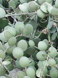 Buy Xerosicyos Danguyi Plants, For Sale Online, How to grow & care for.
