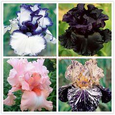 50pcs rare iris ,iris seeds,bonsai flower seeds,24 colours, Heirloom Iris Tectorum Perennial Flower Seeds, plant for home garden