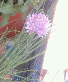 Il fiore dell erba cipollina