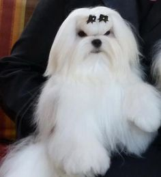 Whisper is anEnglish- American Champion who now resides in Scotland- pictured at 9 months old who just completed her English Championship with Christina Gillies of Delcost Maltese. Very quickly I may add!
