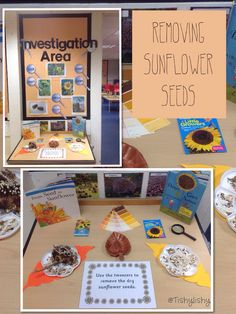 Investigation Area - exploring sunflower seed head. Removing seeds with tweezers.