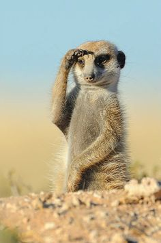 The meerkat or suricate, Suricata suricatta, is a small mammal belonging to the mongoose family. Meerkats live in all parts of the Kalahari Desert in Botswana, in much of the Namib Desert in Namibia and southwestern Angola, and in South Africa.  Peering into the distance.