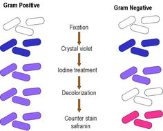 CV-I stays in gram positive, because after using the ethanol decolorizer, the cell wall (made of peptidoglycan) makes the wall's pores tight---more violet. Whereas, the ethanol removes the secondary cell wall of the gram negative: CV-I gets out--no more violet. Doesn't like lipids or carbohydrates.
