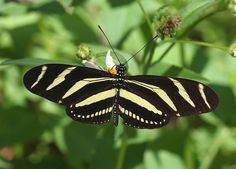 Butterflies of North America - Photo gallery.   Heliconilos charithonia