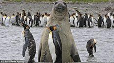 animal photobomb seal photobombing penguins