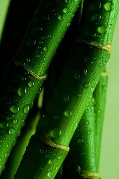 rain on bamboo