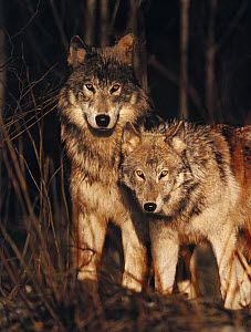 Timber Wolf (Canis lupus) pair in forest, Minnesota