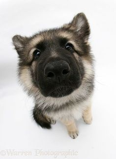 Echo, the German Shepherd puppy [Photography by Warren Photographic] #german_shepherd