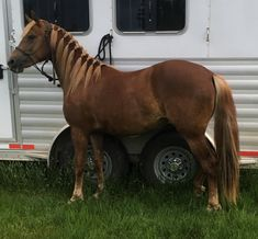 2016 Morgan Filly  CFR Smokin'Hot  www.coyoteflatranch.com Saskatchewan Canada, Morgan Horse, Dressage, Ranch, Horses, Flat, Guest Ranch, Bass, Horse