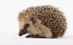 How did things get so bad for hedgehogs? Here's how to save them