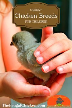 5 chicken breeds for children and how to teach children about chickens.