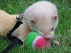 Ferret Training Tricks – How To Train Your Ferret?