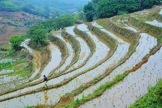 rice terrace  #Taiwan 台灣