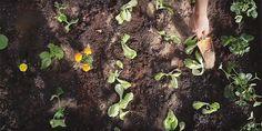 🍓🥬🍅 Δεν χρειάζεται να έχουμε πολύ χώρο, δεν χρειάζεται καν να έχουμε κήπο! Βίντεο και συμβουλές για να δημιουργήσουμε τον δικό μας μικρό λαχανόκηπο για να απολαμβάνουμε φρέσκα κηπευτικά. Fruit, Garden, Plants, News, Garten, Lawn And Garden, Gardens, Plant, Gardening