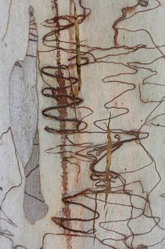 Scribbly gum bark | ©Katarina Christenson