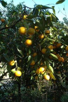 Growing fruit trees in Houston