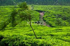 tree with tea fields - A tree in the foreground with tea fields in the background in Kodanad, India.