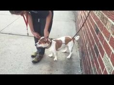 09/07/2016 TO BE DESTROYED TODAY 09/07/2016 AT 8PM IN Brooklyn NYC ADOPT DAGGY – A1086554, ex-pet, he is being treated for the nasty shelter cold, 2 year old male Staffordshire mix, one owner since a puppy, lived with his mother who was also brought to the shelter, good with dogs, good with cats, guards his food so no small children, quiet, affectionate, needs walking regularly to do his business outside, eats meat and rice. Please share to save his life.