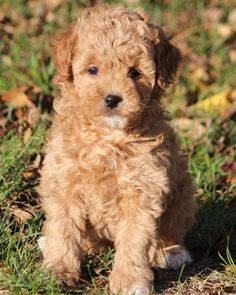 Miniature poodle puppies bred for health, temperament, and teddy bear appearances. Teddy Bear Poodle, Teddy Bear Puppies, Toy Puppies, Cute Puppies, Cute Dogs, Poodle Puppies, Boxer Puppies, Red Poodles, Dog Grooming Business