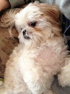 Find Out More On Cute Shih Tzu Puppies Personality Puppies And Kitties, Cute Puppies, Cute Dogs, Doggies, Shih Tzu Puppy, Shih Tzus, Lhasa Apso, Cute Baby Animals, Animals And Pets