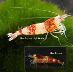 The Red Crystal Shrimp is a colorful freshwater shrimp that makes an interesting addition. But most aquarists praise this member of the Atyidae family for its voracious appetite for freshwater algae of all kinds. In addition, the Red Crystal Shrimp is both beautiful - with mottled, bright red colors - and peaceful, which makes it an ideal choice for any peaceful freshwater system.    Native to the swamps and streams of Japan and Asia, the Red Crystal Shrimp requires an established freshwater…