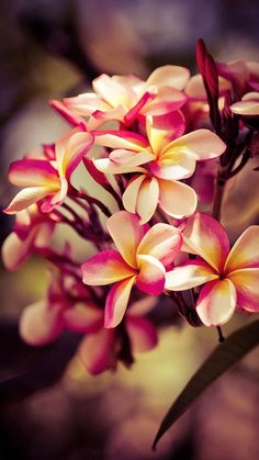 Find images and videos about pink, nature and flowers on We Heart It - the app to get lost in what you love. Flores Plumeria, Plumeria Flowers, Big Flowers, Flowers Nature, Exotic Flowers, Beautiful Flowers, Hibiscus, Huawei Wallpapers, Iphone Wallpapers