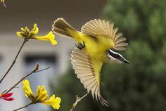 Foto bem-te-vi (Pitangus sulphuratus) por Ivan Rocha | Wiki Aves - A Enciclopédia das Aves do Brasil