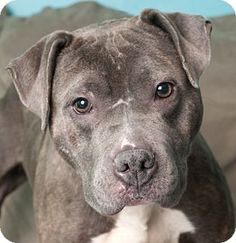 Chicago, IL - American Pit Bull Terrier. Meet Chloe, a dog for adoption. http://www.adoptapet.com/pet/15016096-chicago-illinois-american-pit-bull-terrier