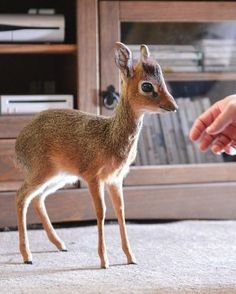A Dik-dik...it's so small! If I could could own one it would have already happened by now.
