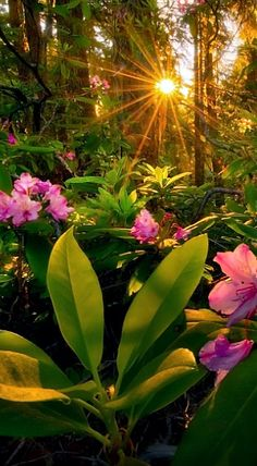 Rhododendrons growing wild in the Cascade Mountain forest in Oregon. Wallpaper Nature Flowers, Flower Background Wallpaper, Beautiful Nature Wallpaper, Flower Backgrounds, Flowers Nature, Wallpaper Backgrounds, Beautiful Nature Pictures, Beautiful Nature Scenes, Beautiful Sunrise
