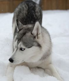 Siberian Husky | because 66 days | Can't wait to have my little girl | Puppy | #SiberianHusky #siberianhuskypuppy