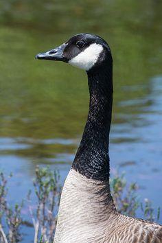 Branta in Profile Canada Goose https://www.facebook.com/bruce.frye.photography