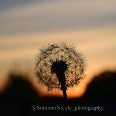 Nature Pictures, Dandelion, Flowers, Plants, Nature Photography, Flora, Royal Icing Flowers, Dandelions, Floral