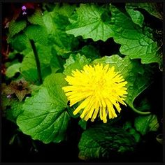 Dandelion is recognized by herbalists and healers all over the world as an excellent liver #detox #remedy. Add leaves to a detox #smoothie or make tea from the roots.