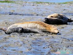 ELKHORN SLOUGH SAFARI GUIDED NATURE BOAT TOUR - Nursing Seal Pup  #seemonterey @seemonterey  ad