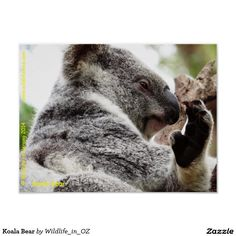 Koala Bear Poster - Click on photo to view item then click on item to see how to purchase that item. #koala #koalabear #bear #poster #wildlife #australianwildlife #zazzle