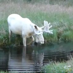 -Mythical comes to mind ✨- This footage of an albino moose was captured by Hans Nillson in western Sweden. He spent three years trying to capture it, and wow was it worth it. Hard to think of a word to describe it. Mythical comes to mind ✨ <br Amazing Animals, Animals Beautiful, Albino Moose, Rare Albino Animals, Exotic Animals, Cute Funny Animals, Funny Dogs, Animal Photography, Nature Photography