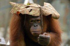 Orangutan. (Soooooooo precious!!!!!)