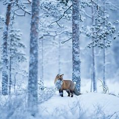 Red Fox in snowy forest Wildlife Photography, Animal Photography, Winter Photography, Photography Tips, Beautiful Creatures, Animals Beautiful, Animals And Pets, Cute Animals, Animals In Snow