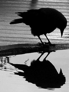 Crows Ravens: #Crow reflection.