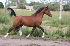 Kael Park Atticus - 2004 bay stallion