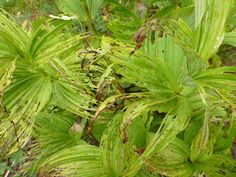 The Strange Worn Look of Green Corn Lily (Veratrum viride). Indian Bar via Cowlitz Divide Hike.